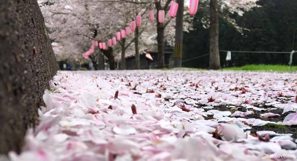 忠元公園の桜状況を隔日で紹介中。
