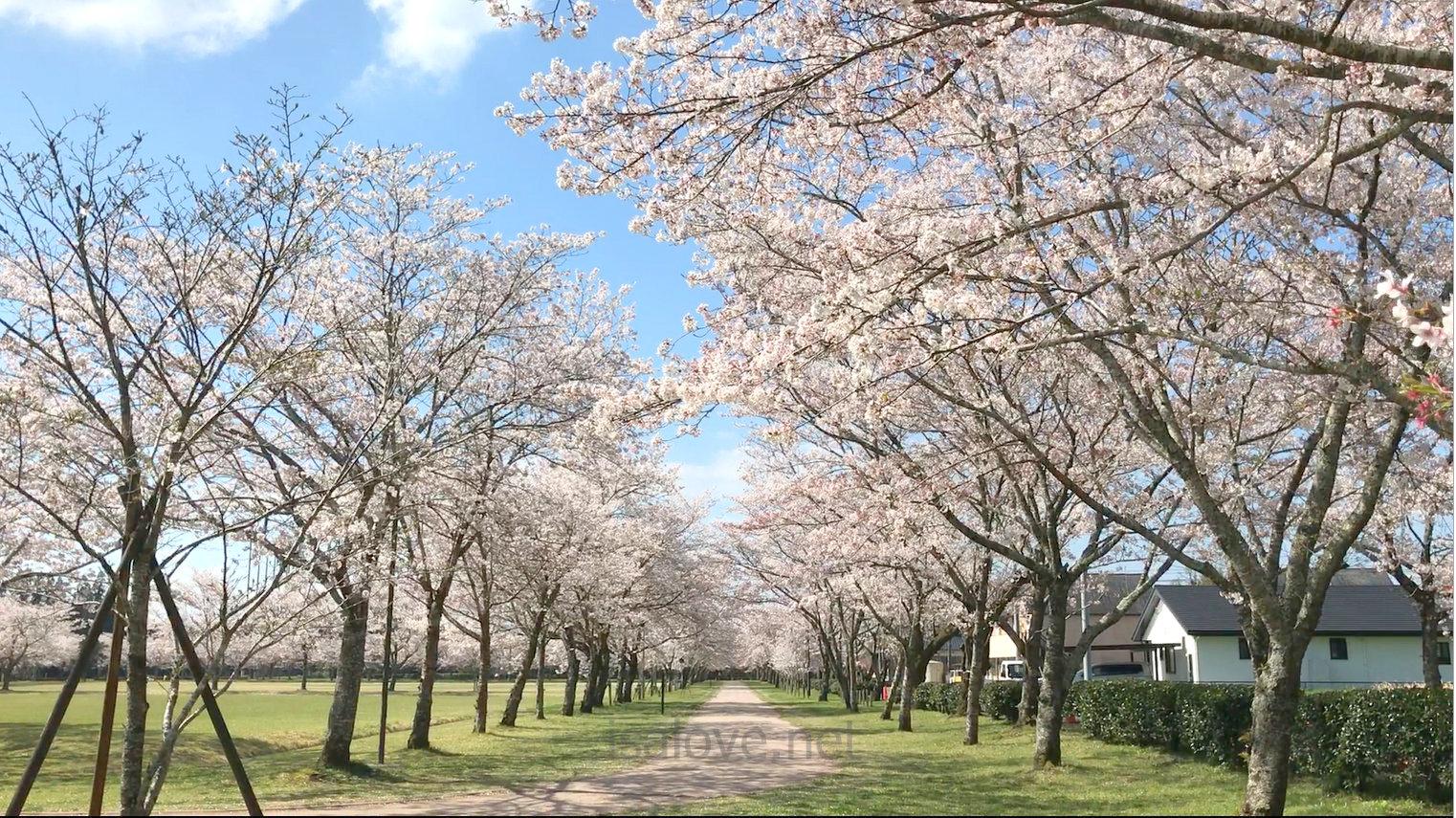 忠元公園桜開花状況2020年満開